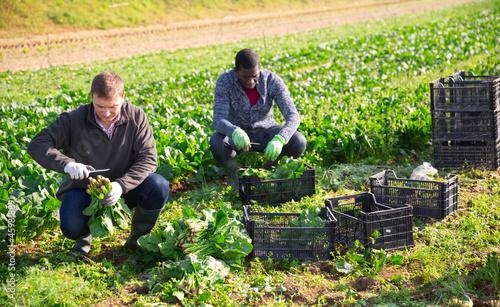 Fotografia, Obraz Men gardeners during harvestung of fresh spinach, working in garden outdoor