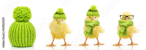 Billede på lærred Green wool knitted hat and cute little chicken isolated on white background