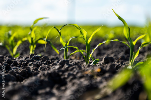 Fotografía Growing young green corn seedling sprouts in cultivated agricultural farm field, shallow depth of field