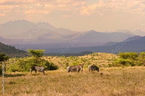 Fototapeta Paysage de plaine avec zèbres et arbres Afrique Kenya
