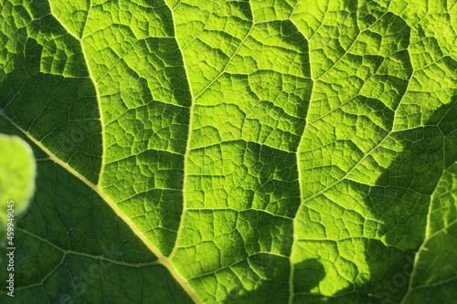 Murais de parede burdock leaf that lets sunlight through itself
