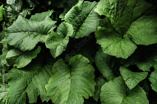 Fotografia Large burdock leaves in the forest close up