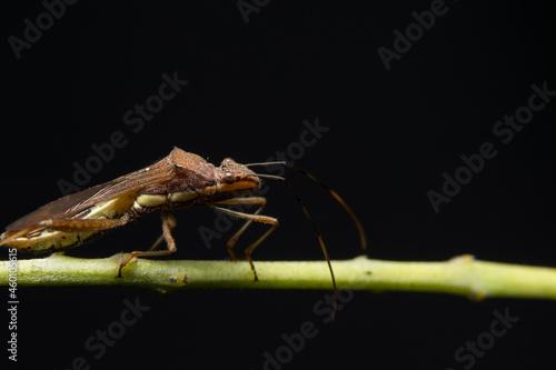 Closeup photo of brown assassin bugs on leaf Fotobehang