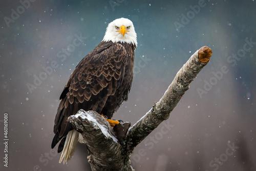 Canvas Print Eagle Portrait 4