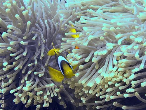 Billede på lærred fish in anemone