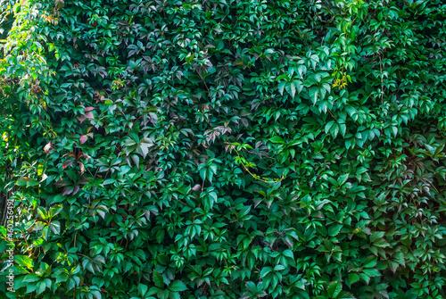 Fotografia Leafy green texture