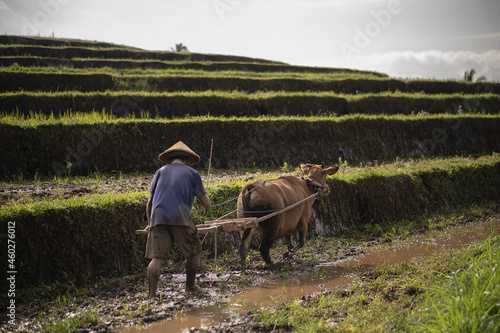 Wallpaper Mural Indonesian farmer plowing rice fields using traditional plough