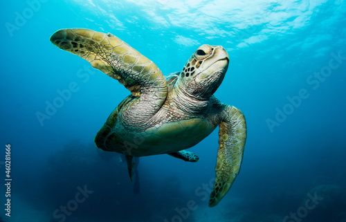 Canvas Swimming sea turtle in the ocean, photo taken under water at the Great Barrier R