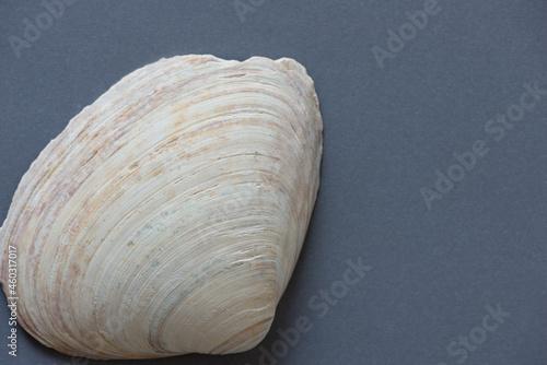 Canvastavla shell on a gray background