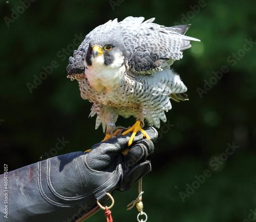 Tela Centre de réhabilitation pour les oiseaux de proie , grand duc d'amérique, fauco