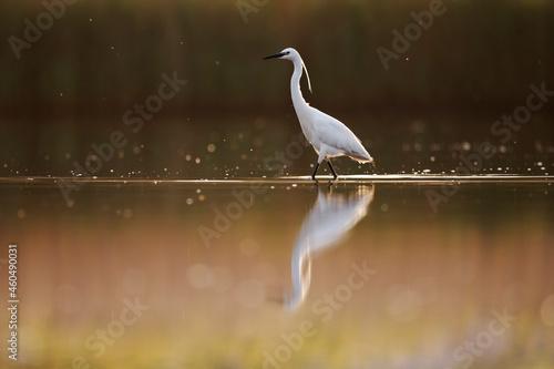 Fotografie, Obraz Aigrette garzette (regretta garzetta) en chasse dans les marais de Suscinio, Morbihan, Bretagne, France