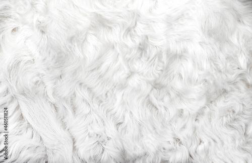Fotografering White animal fur