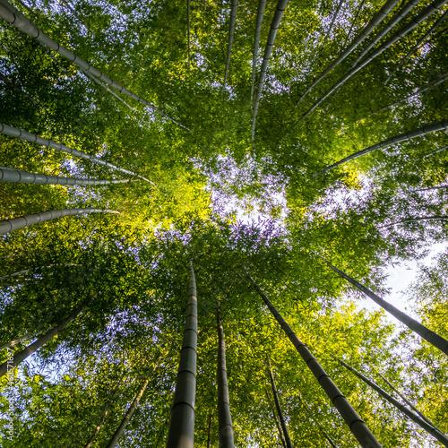 Fotomural sun shining through bamboos