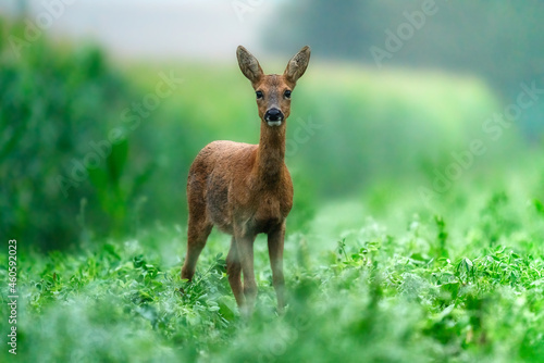 Canvas Print roe deer in the grass