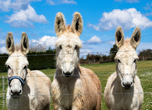 donkey in the field Fototapet