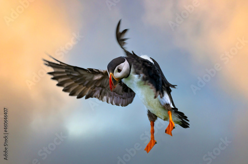 Fotografie, Obraz Stunning shots of Atlantic puffins in flight landing on and taking off from  the