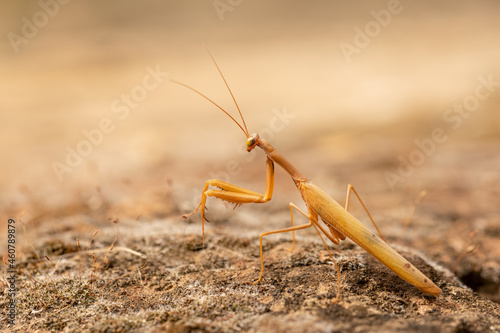 Canvas Praying mantis on the ground, camouflaged with the surroundings
