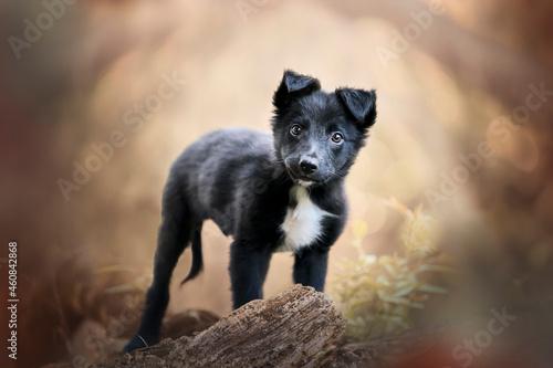 Foto Black border collie puppy