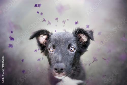 Black border collie puppy Fotobehang