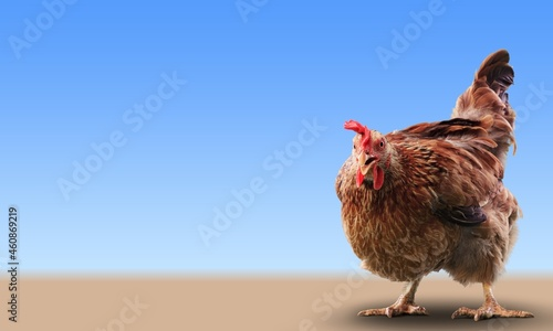 Canvastavla Brown hens posing, Laying hens farmers concept.