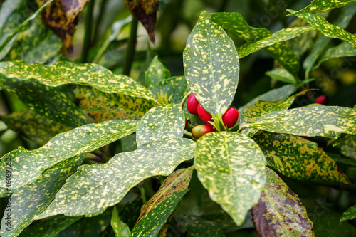 Fotografiet Aucuba japonica - speckled shrub leaves and red berries.