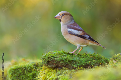 Hawfinch. Female (Coccothraustes coccothraustes) Fototapet