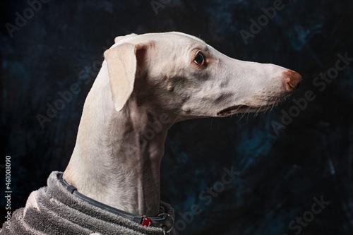 greyhound in profile on black background Fototapet