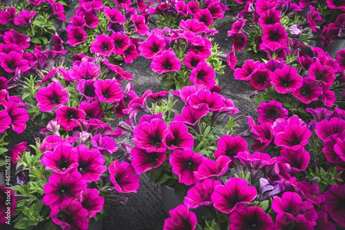 Blumenzucht -Petunien in leuchtenden Farben im Gewächshaus einer Gärtnerei.