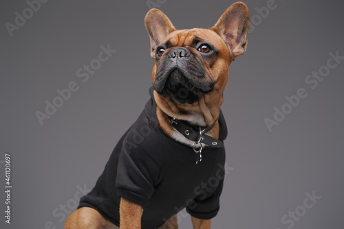 Isolated on gray french bulldog dressed in black sweater Fotobehang