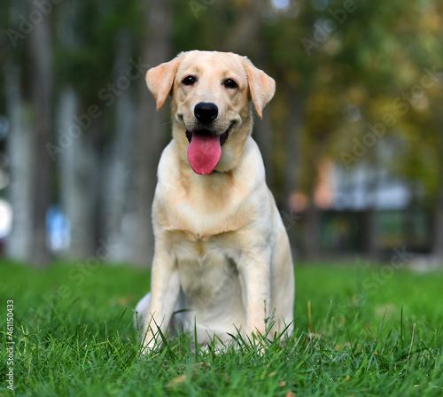 Fotografie, Obraz a lovely labrador retriever in a green field