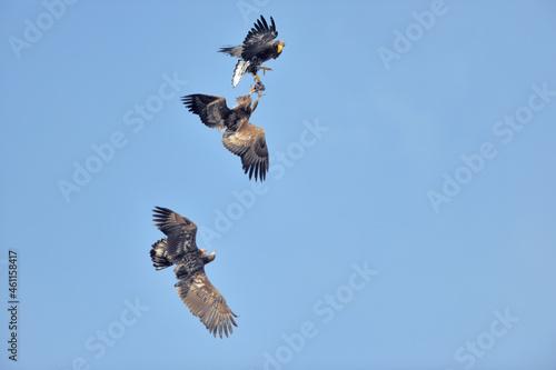Billede på lærred 空中で魚を奪い合うオオワシとオジロワシ(北海道・知床)