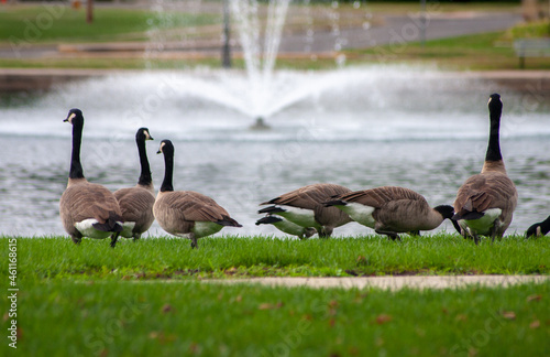 Obraz na plátně Canada Geese At The Park In Front Of A Pond With A Water Fountain - Branta canad