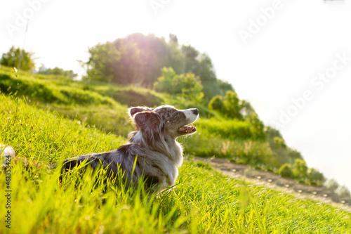 Welsh Corgi Cardigan on green grass outdoor Fototapet