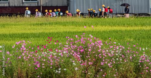 Photo 小牧山城の見える農業地域の自然 コスモスの咲く稲田を行く集団登校