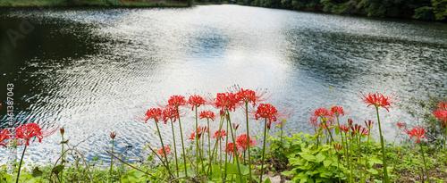 Obraz na plátně 영광 불갑사 호숫가에 핀 빨간 꽃무릇