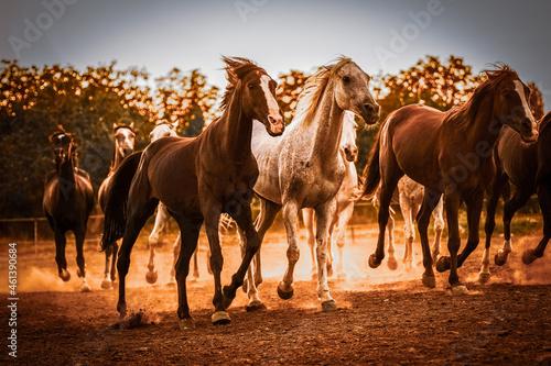 Fotografia horses running in farm