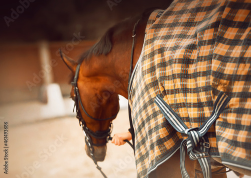 A rear view of a bay horse dressed in a checkered yellow blanket, which a horse breeder holds by the bridle reins on a cold day Fototapet