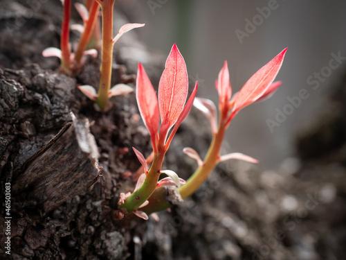 Vászonkép young Camphor Tree (Cinnamomum camphora) shoots