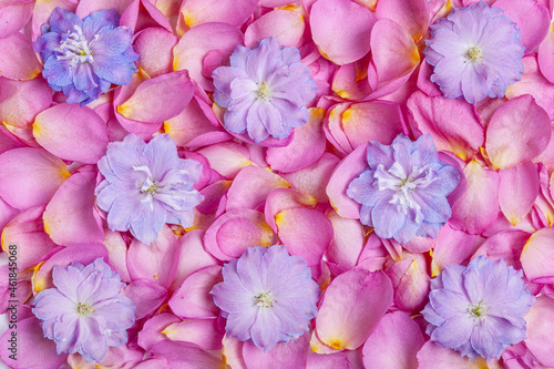 Foto Flower composition of rose petals with blue delphinium flowers