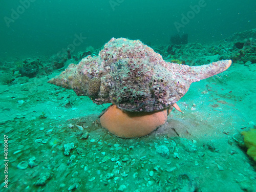 Canvastavla Horse conch mollusk on the sand underwater