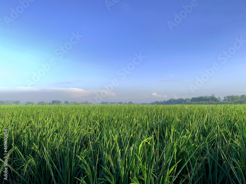 Fotografie, Obraz Organic rice in paddy field, landscape, garden background.