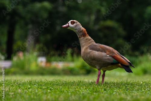Obraz na plátne Closeup shot of an Egyptian Goose (Alopochen aegyptiaca) in lawn