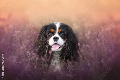 Fotografie, Obraz tri-color Cavalier King Charles Spaniel portrait in Heather field