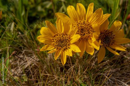 Obraz na plátně Mule years, Wyethia mollis, three floweres in nature in California against green