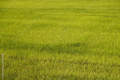 Fotografia, Obraz 稲刈り前の秋の田