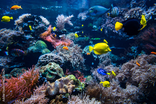 Tableau sur Toile Coral colony and coral fish.  Underwater view