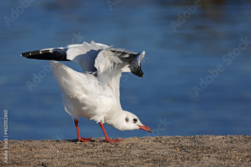 Tela Reverence of a seagull to a photographer on the beach