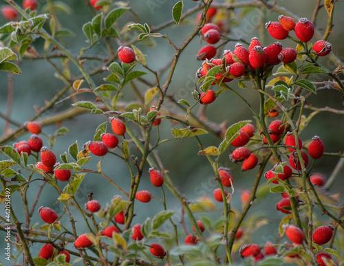 przymrozek, jesień, owoce