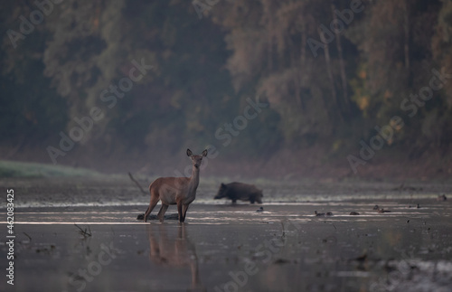 Fotografie, Tablou Red deer hind and wild boar on river coast in forest