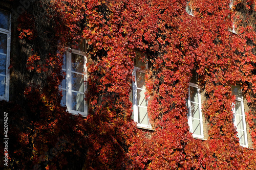 Tela Virginia creeper on wall, red leaves around the windows in fall